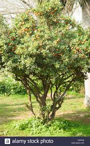 Orange Fruit Tree At Lotus Temple New Delhi India Asia Stock Lotus Fruit Tree