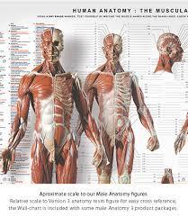 Human Skeleton Wall Chart Anatomytools