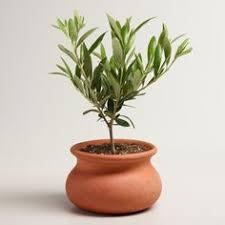 Best 25 Ficus Tree Ideas On Pinterest  Indoor Tree Plants Ficus Home Decor Trees
