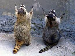 Raccoons In Vending Machine Cool PrayingRaccoonsjpg 48×48 Praying Animals Pinterest Animal