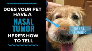 does your pet have a nasal tumor here