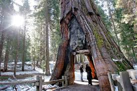 original essays why they love the parks san francisco chronicle the iconic california tunnel tree cut in 1895 to allow horse drawn stages to