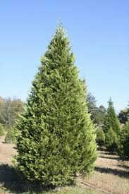 Hilltop Christmas Tree Farm - Varieties of Trees - Leyland Cypress