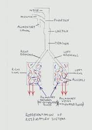 Respiratory System Flow Chart Linsey Smith Lcs950721 On Pinterest