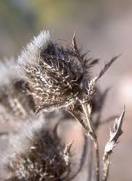 Atractylis cancellata - Wikispecies