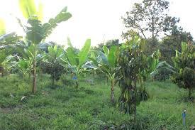ผลการค้นหารูปภาพสำหรับ ปลูกไม้ผลโดยการแซมกล้วย