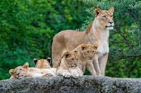 lioness and 4 cubs. Contemporary Lioness A Lioness And 4 Cubs  By Tambako The Jaguar Inside Lioness And Cubs Flickr