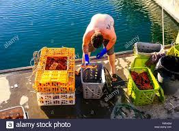 Fisherman at Santa Barbara harbor sorts through crab pots ...