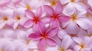 pink jasmine flower