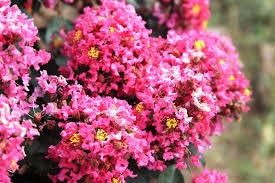 Crepe Myrtle Lagerstroemia | Ornamental Trees | Fleming's Nurseries