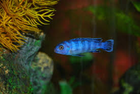 What Other Species Can A Cichlid Live With Pets
