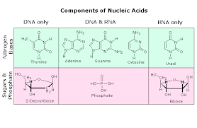 Functions Of Nucleic Acids Nucleic Acids Chemistry Libretexts
