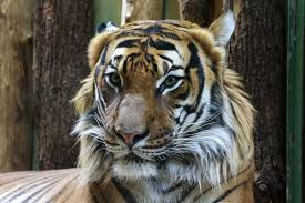 free stock photo of tiger face