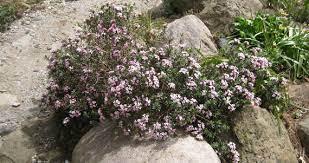 Daphne x hendersonii 'Fritz Kummert' : Arrowhead Alpines