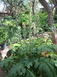 Grecian Pattern Plant
