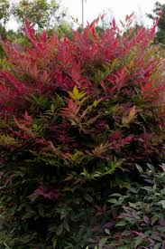 compact dense grower with brilliant red new foliage and richer color than ordinary nandinas features bloom feature deep red young foliage plant type