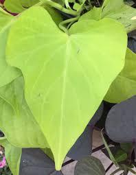 Light Green Sweet Potato Vine Photo Of The Leaves Of Sweet Potato Vine Ipomoea Batatas
