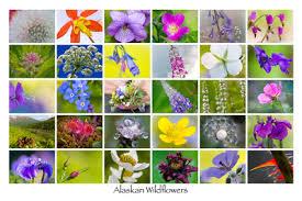 poster ak wildflower white