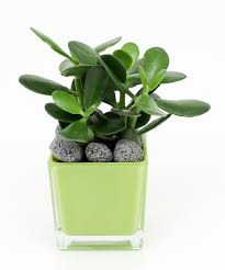 the jade plant has thick succulent leaves and although making it flower indoors may take a bit of coaxing it can be done overall the jade plant is