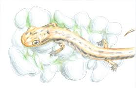 sussex acirc conserve wildlife foundation of new jersey long tailed salamander by marvin litrenta 2017 species on the edge art essay contest