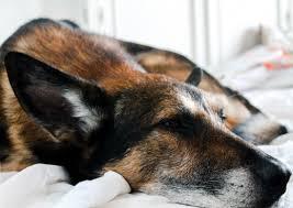 Dog Hemangiosarcoma Proven New Treatments That Prolong Life
