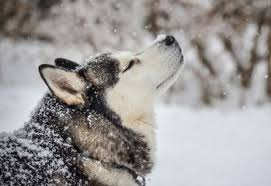 baby husky in snow. Plain Husky 7 You Need To Watch Them Closely Intended Baby Husky In Snow P