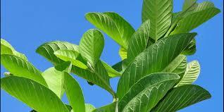 Image result for अमरुद की पत्तियों