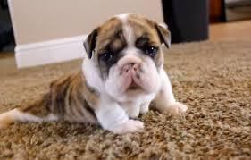 cute english bulldog puppy. Simple Puppy Cute Of The Day English Bulldog Puppies Walking Throughout Puppy U