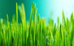 Green Grass Wallpaper Download
