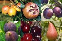 Fruit Trees For Sale  Order Online  Ashridge NurseriesHybrid Fruit Trees For Sale