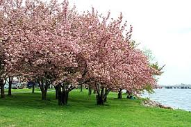 10 Steps From Seed To CupWhen Do Cherry Trees Bear Fruit