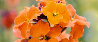 The best <b>wallflowers</b> and erysimums to grow - Gardens Illustrated