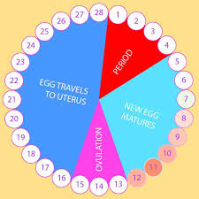 Know Your Menstrual Cycle