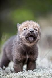 baby wolf. Contemporary Wolf Image Result For Baby Wolf And Baby Wolf O