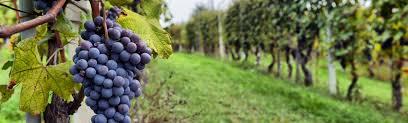 Image result for vineyard