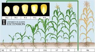 Winter Wheat Growth Stages Chart Corn Growth Stages Corn Plant Small Backyard Gardens