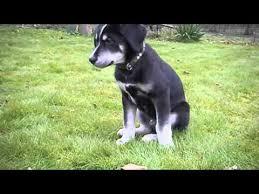 husky black lab mix puppy.  Mix Husky Cross Labrador Puppy For Black Lab Mix Puppy