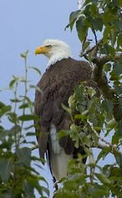 Small Picture Fun Bald Eagle Facts for Kids Interesting Information about Bald