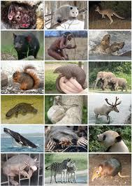 Mammal Wikipedia