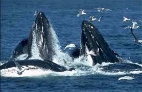 Киты кит cetacea море жизнь китов оплодотворение роды  Киты