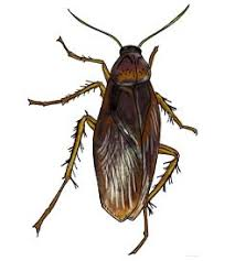 Cockroach Pictures Photo Gallery With Images