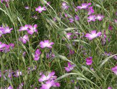 Silene sericea, with hairy leafs Corsica | Caryophyllaceae | Pinterest ...