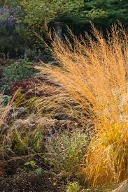 Molinia caerulea subsp. arundinacea (Moor Grass)