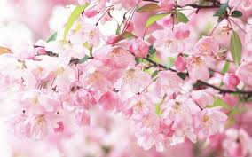Pink and White Flower Wallpapers - Top ...