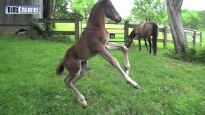 baby horses playing. Perfect Baby FUNNY BABY HORSE And Baby Horses Playing YouTube