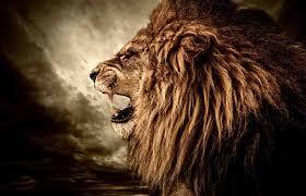 lions fond d écran enled lion