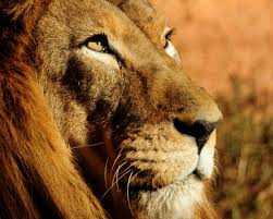 Lion background ...