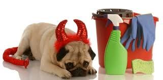pug puppy wearing devil horns and tail costume laying with head down next to cleaning bucket dog stains