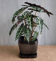 African Mask Plant Light African Mask Plant