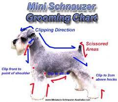 Dog Haircut Chart Mini Schnauzer Grooming Tips For Pets Miniature Schnauzer
